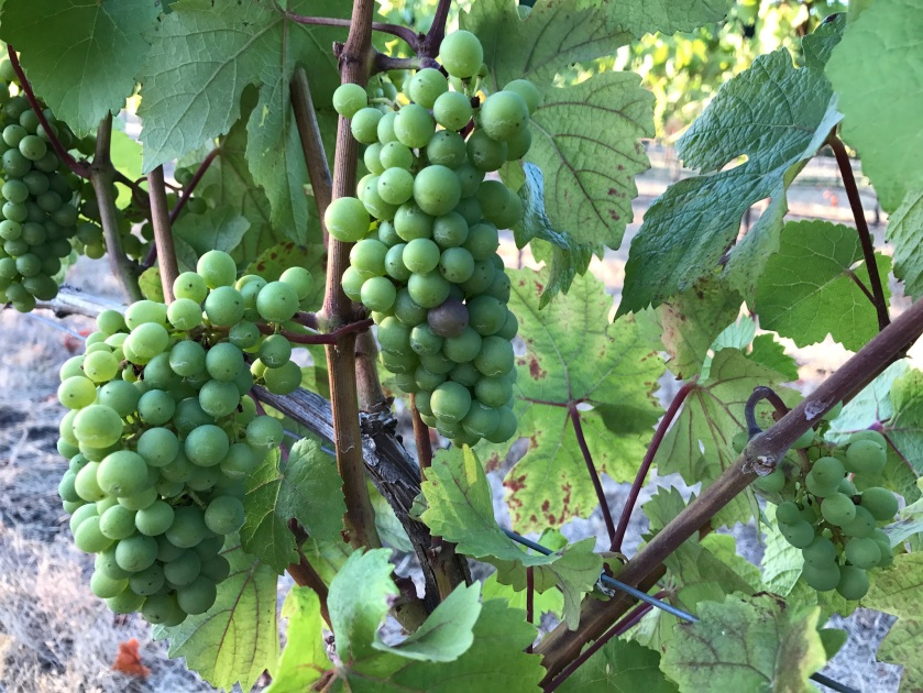 A close-up of wine grapes on the vine