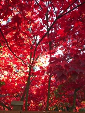 Autumn leaves, Kirkland, Washington (USA)