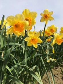 Daffodils in bloom! Skagit Valley