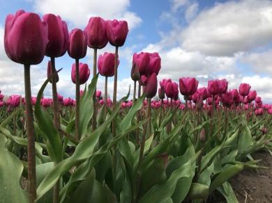 Tulips in bloom! Skagit Valley