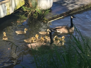 Geese and goslings enjoying the sunshine at the Waterfront Activities Center