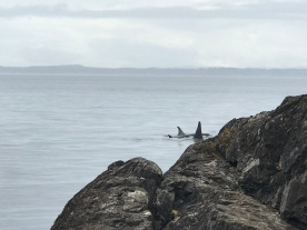 Orcas in the channel