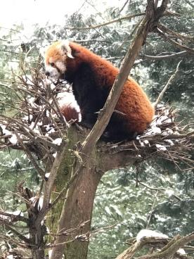 Red Panda alert!