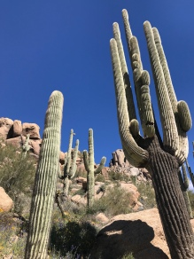 Beautiful saguaro